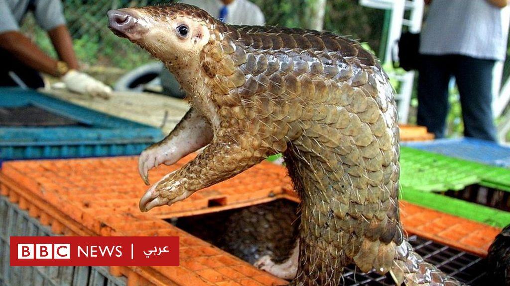 فيروس كورونا: آكل النمل الحرشفي يحمل فيروسات لها علاقة بالوباء - BBC News  عربي