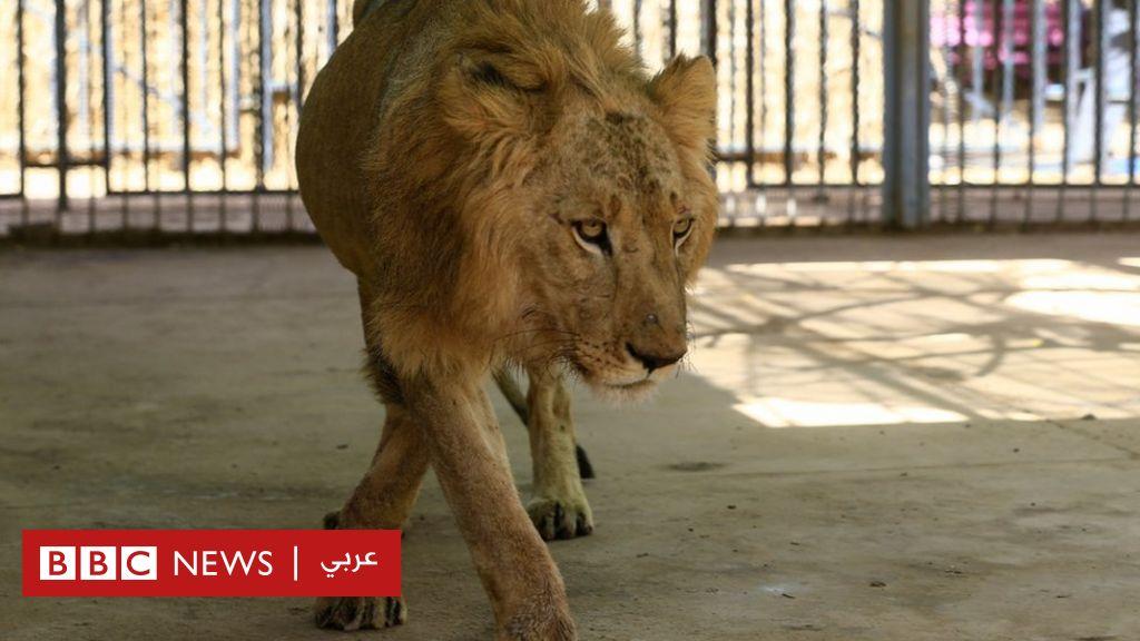 أسود هزيلة تتضور جوعا في حديقة حيوانات تصدم السودان - BBC News Arabic