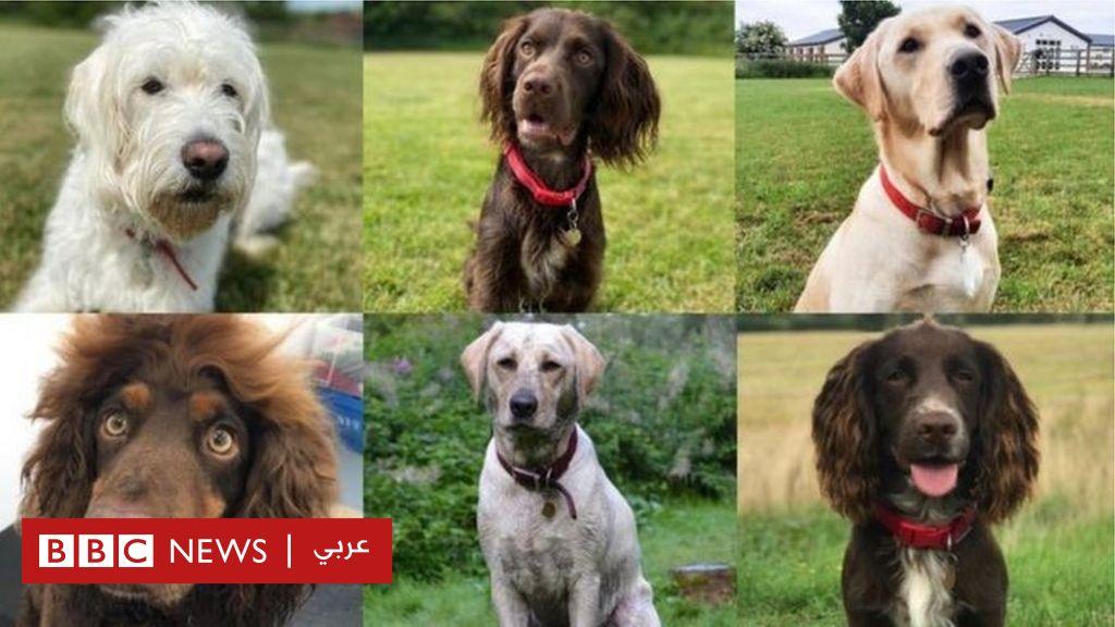 تدريب كلاب على اكتشاف مرضى كورونا