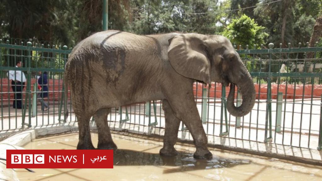 الفيلة نعيمة: نفوق آخر أفيال حديقة حيوانات الجيزة بمصر