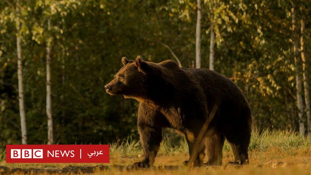 ناشطون يتهمون أميرا أوروبيا بقتل أحد أضخم الدببة في القارة - BBC News عربي