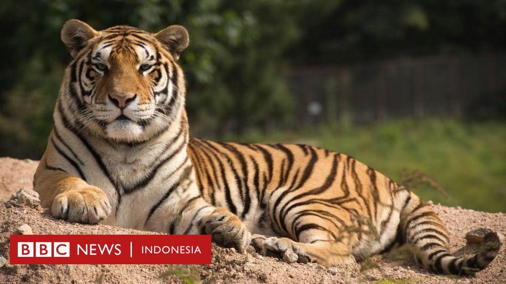 Bagaimana Mendeteksi Harimau Sebelum Raja Hutan Ini Menerkam Anda