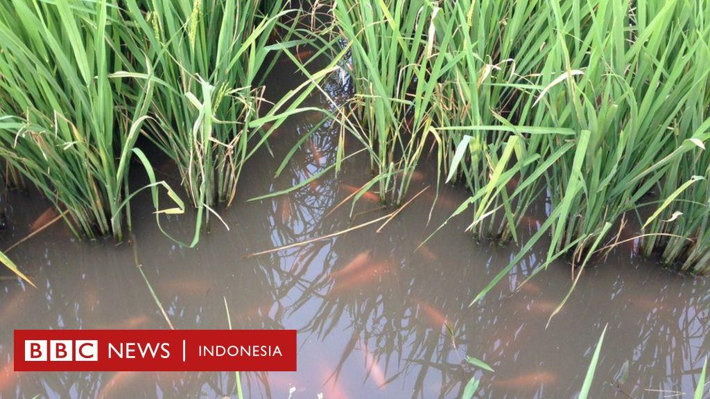 Pertanian Dan Budidaya Ikan Mina Padi Satu Hektar Lahan Bisa Dapat Omset 120 Juta Bbc News Indonesia