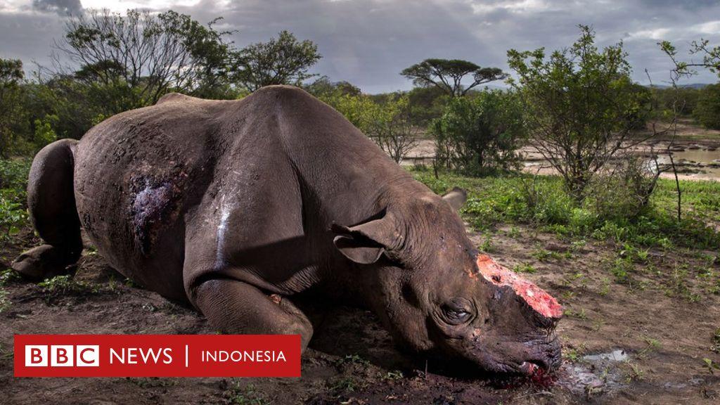 Pembantaian Di Selandia Baru Wikipedia: Foto Pembantaian Badak Menangi Penghargaan Dunia