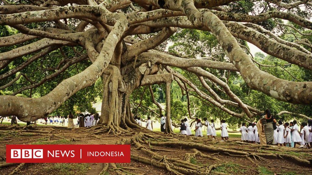 Pohon Yang Membentuk Sejarah Manusia Bbc News Indonesia