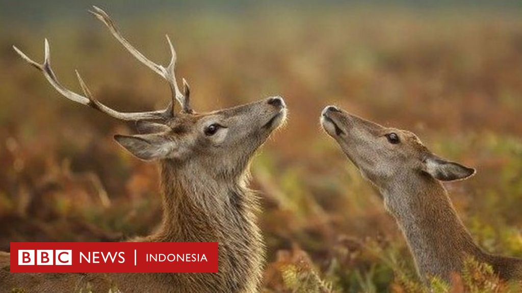 Poliandri Rusa Merah Hingga Timbunan Kacang Si Tupai Hewan Hewan