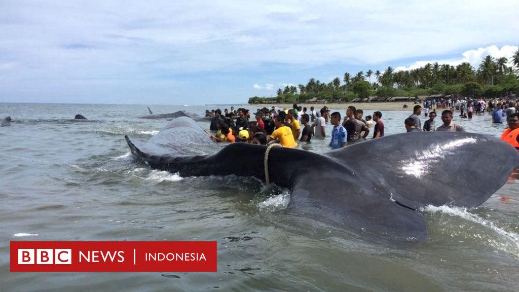 Empat Dari 10 Paus Yang Terdampar Di Aceh Gagal Diselamatkan Bbc News Indonesia