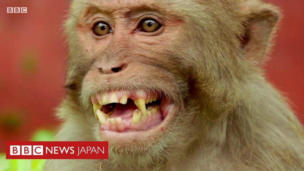 猿の惑星」が現実に? 猿に人間の遺伝子を移植、中国の研究チーム - BBCニュース