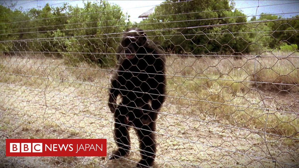 凶悪 チンパンジー