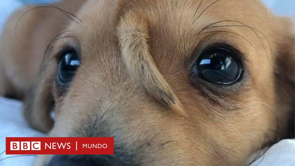 Narwhal El Singular Cachorro Con Una Cola En La Cabeza Rescatado En Estados Unidos Que Se Volvió Viral Bbc News Mundo