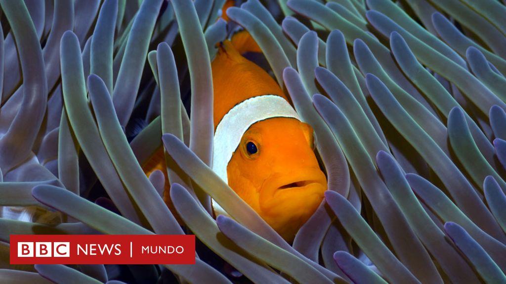 El pez hembra que desarrolla testículos cuando desaparece el ...