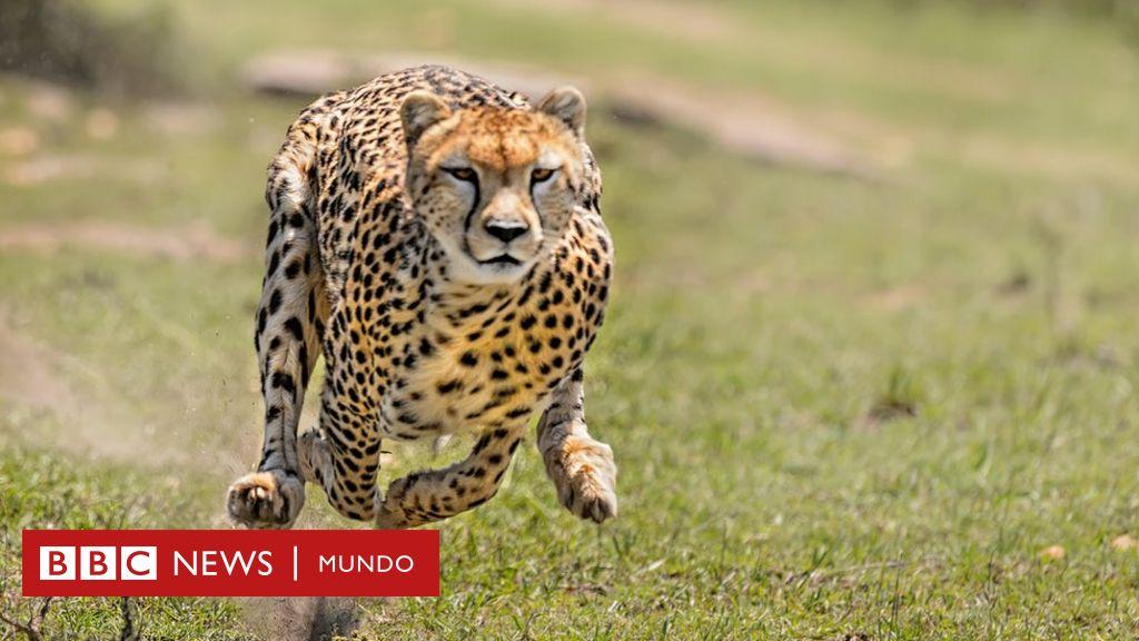 Por Que La Chita Es El Animal Que Corre Mas Rapido Aunque No Tenga Los Musculos Mas Fuertes Del Reino Animal Bbc News Mundo