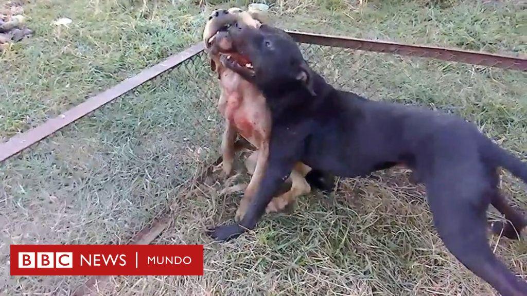 Investigación Bbc El Sangriento Mundo Ilegal De Las Peleas De Perros Bbc News Mundo