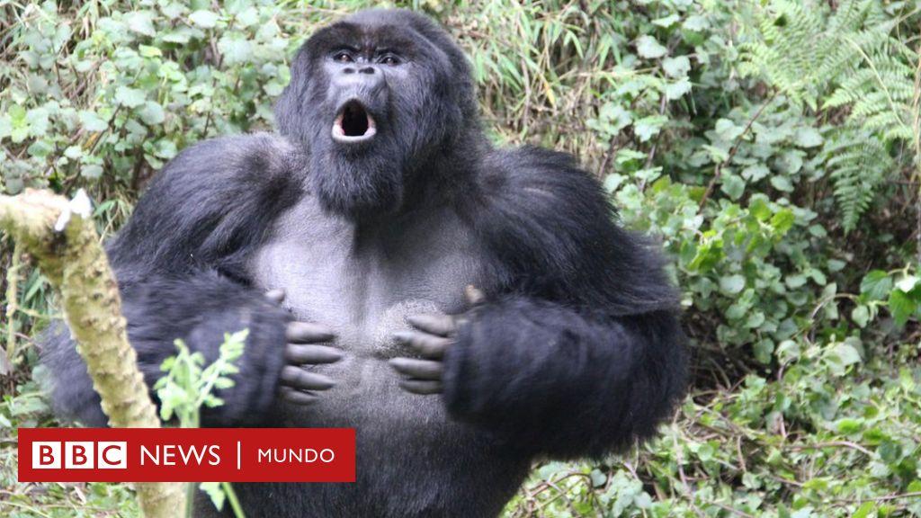 Científicos descubren la verdadera razón por la que los gorilas se golpean el pecho