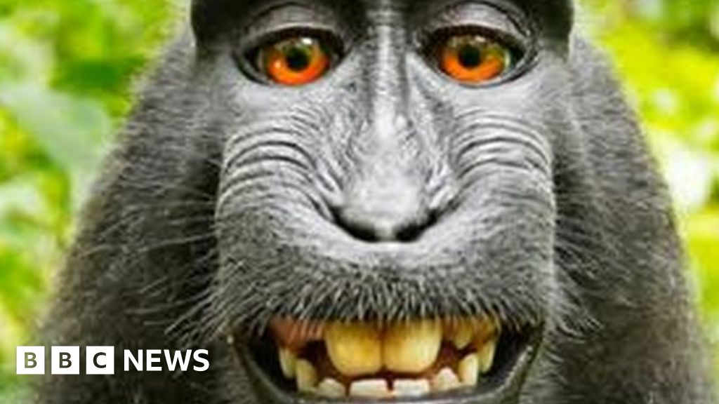 Monkey Selfie Is Mine UK Photographer Argues