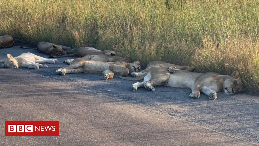 Coronavirus: lions NAP on the street during the South African lockdown