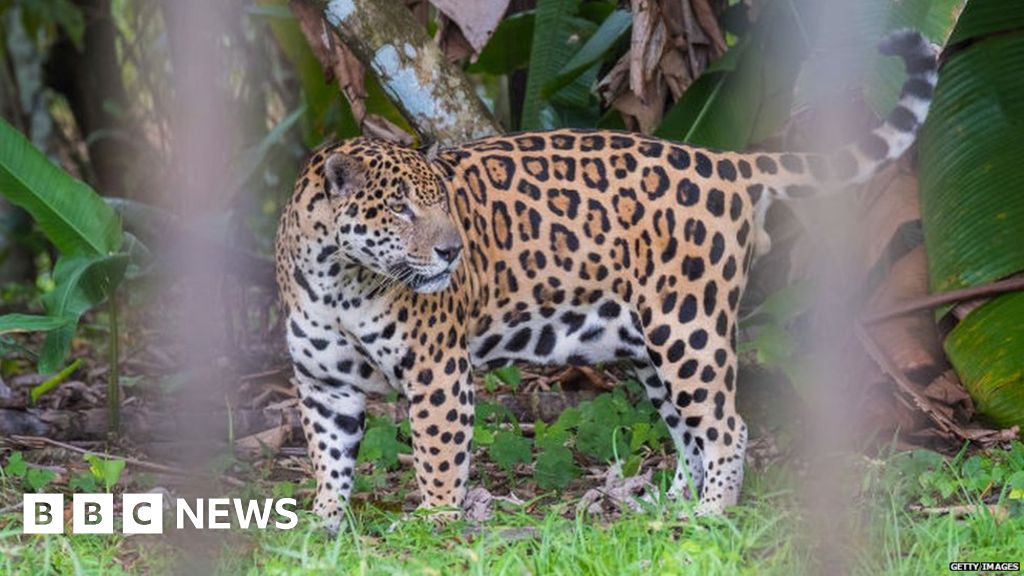 New protections for jaguar and Asian elephant