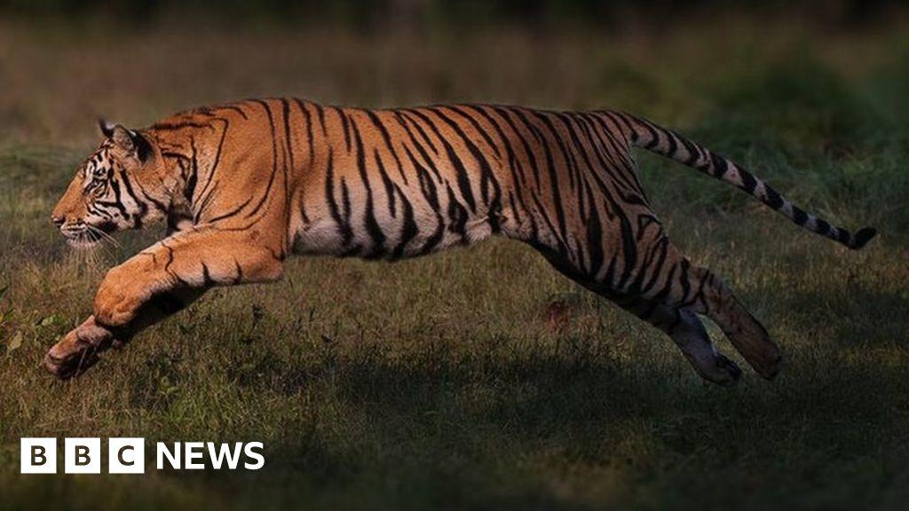 Endangered tigers making a 'remarkable' comeback