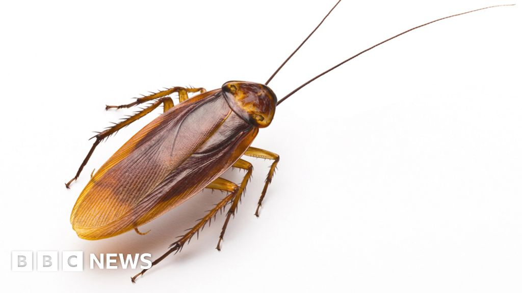 How Cockroaches Could Save Lives Bbc News