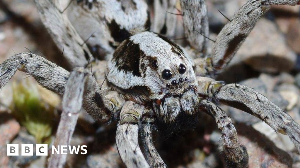 Great Fox-Spider rediscovered on MoD land in Surrey