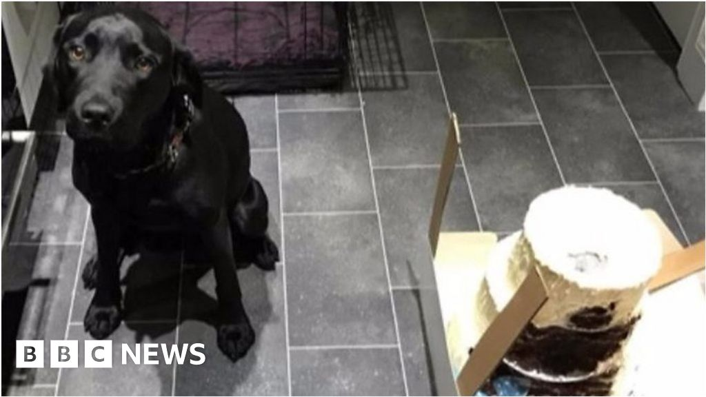 Bella The Labrador Eats Wedding Cake