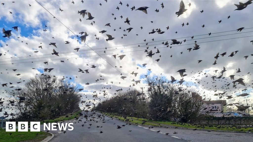 Somerset starlings stop man's car in 'impressive' display