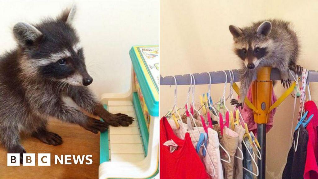 956bd66c1d Mystery Tube-riding raccoon identified - BBC News