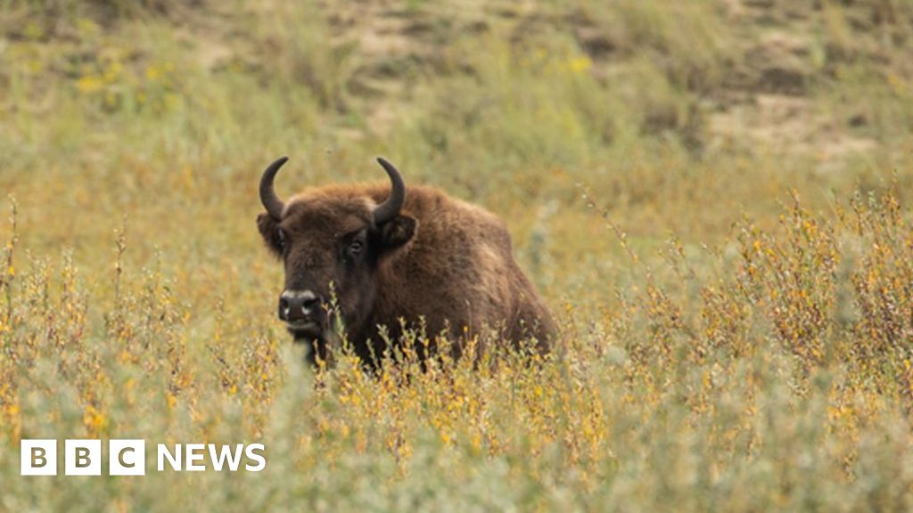 European bison to be introduced into Kent woodland
