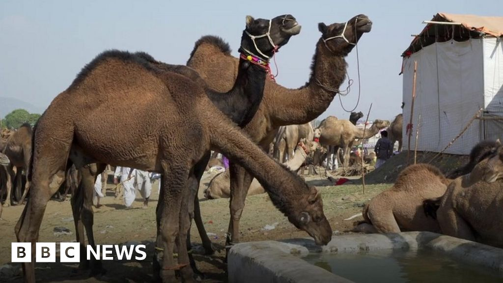 Why Is Indias Largest Camel Fair Struggling