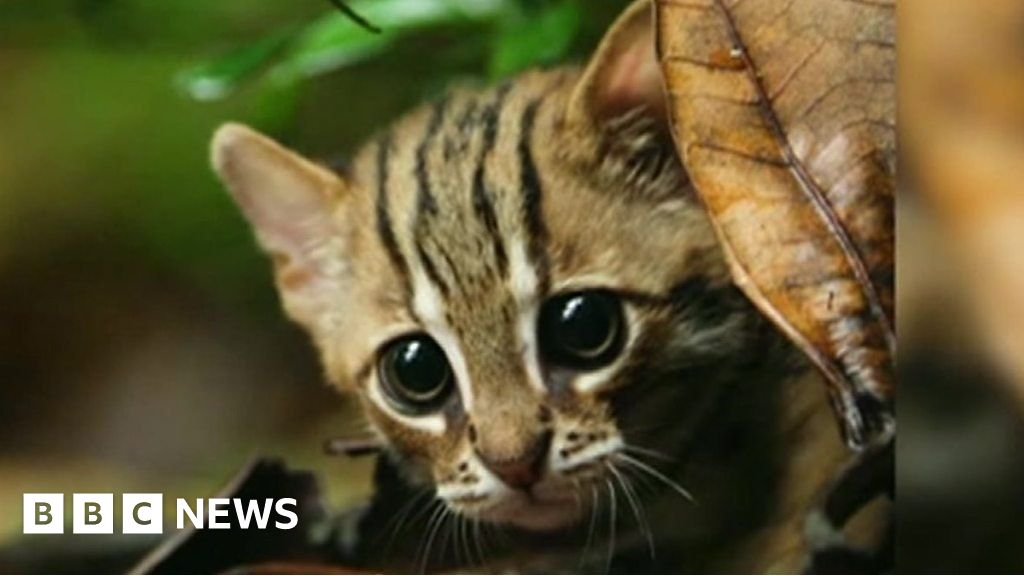Image of: Beautiful Smallest Cat In World Footage Of Rare Animal Bbc Smallest Cat In World Footage Of Rare Animal Bbc News