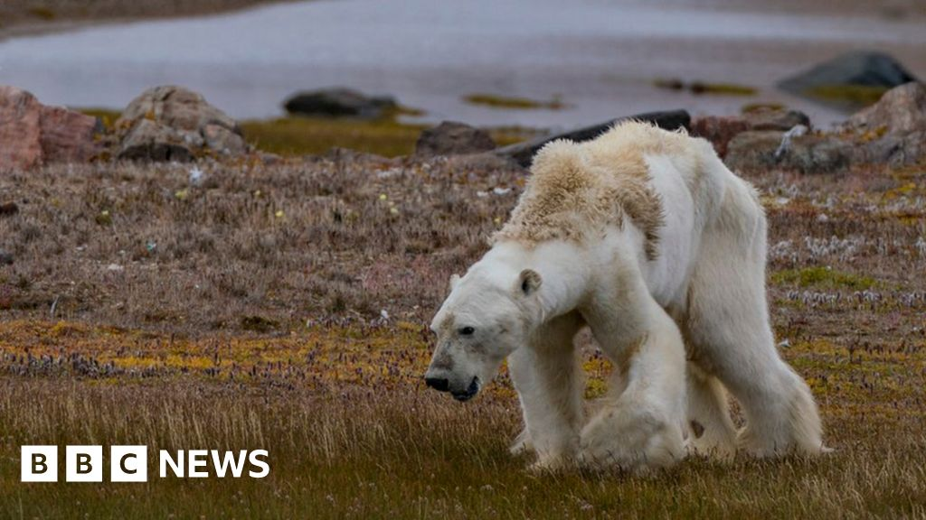 Polar bear video: Is it really the 'face of climate change'? - BBC ...