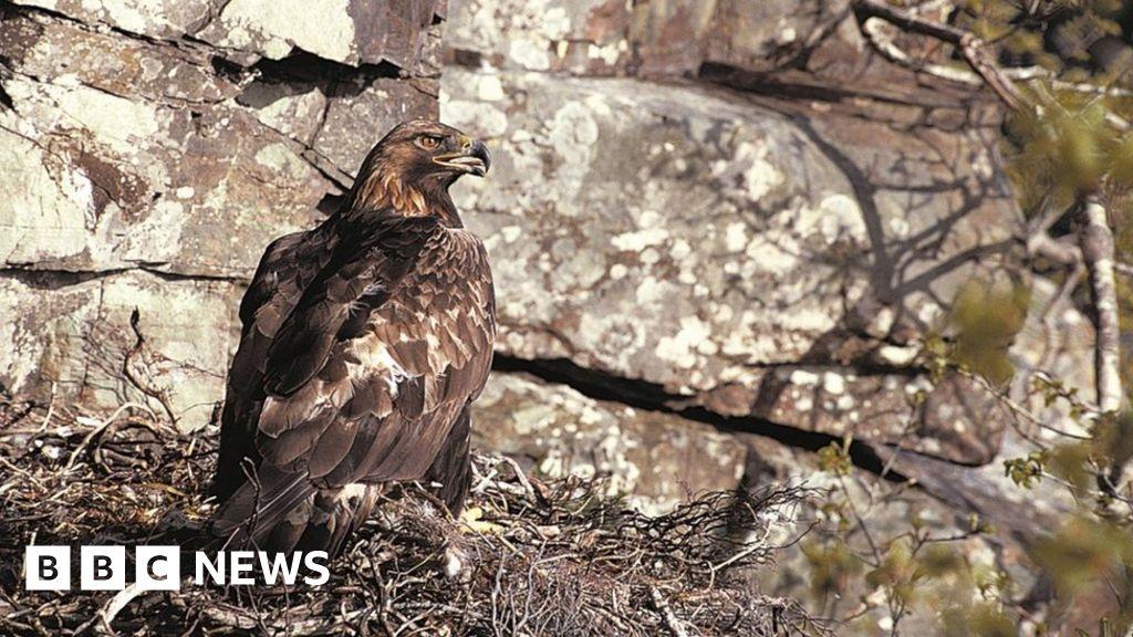 Golden eagles breeding success at Scottish Highlands estate - BBC News