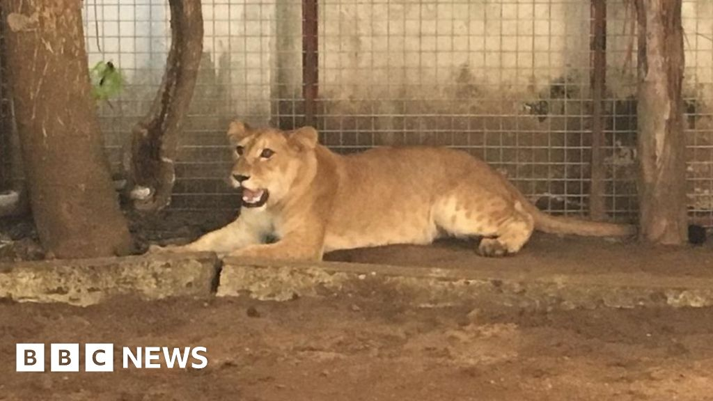 Lion removed from house opposite school in Lagos, Nigeria - BBC News