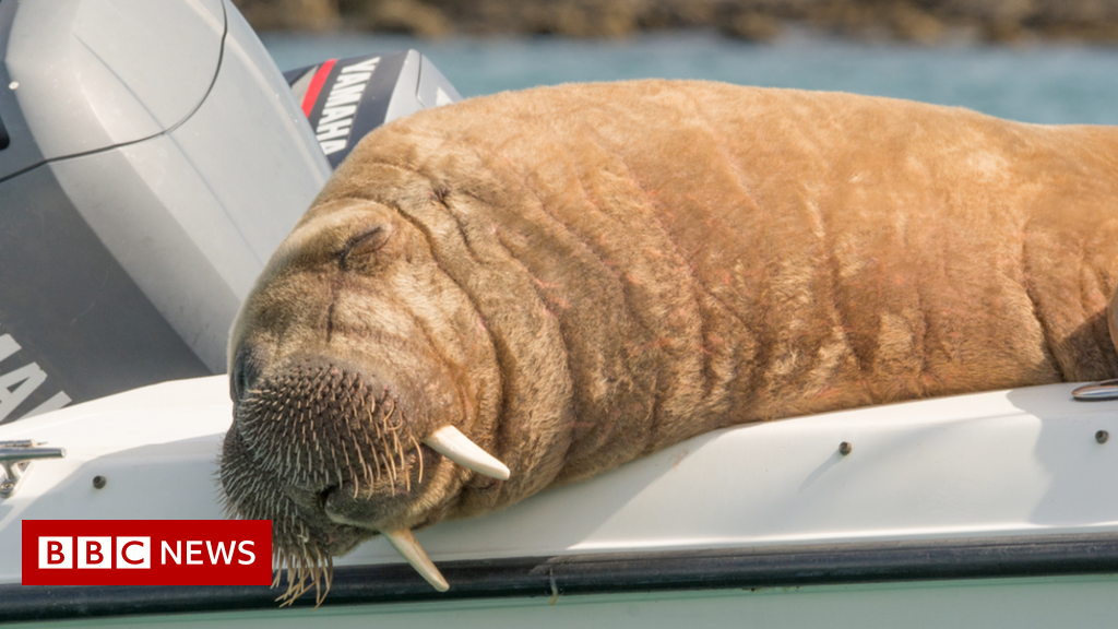 Wally the wandering walrus is spotted in Iceland