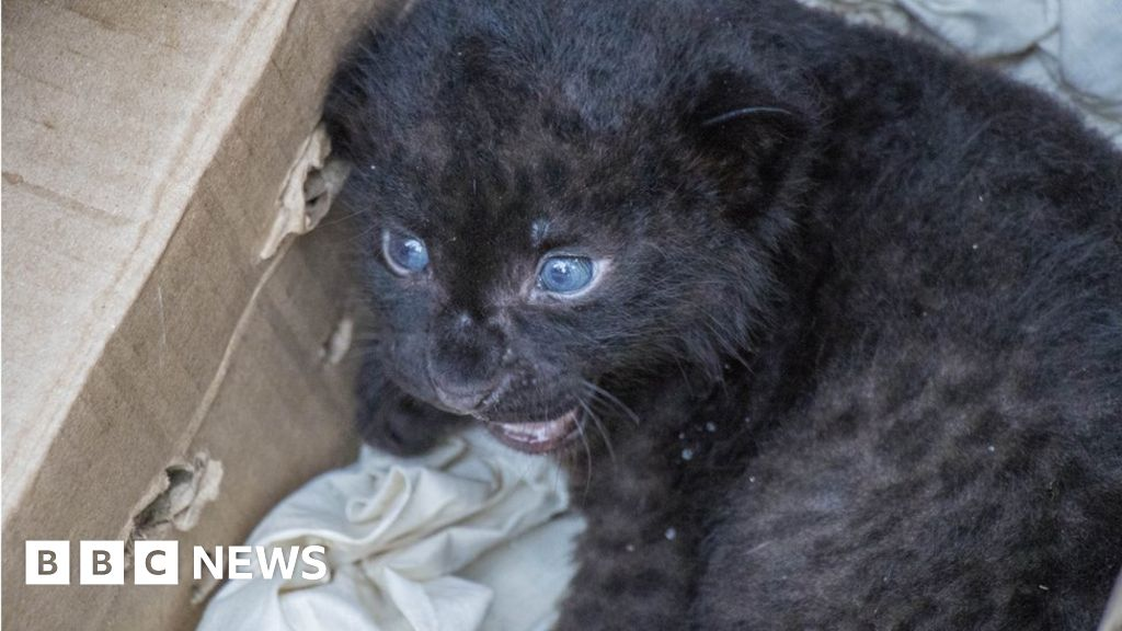India wildlife officials reunite leopard cub with mum