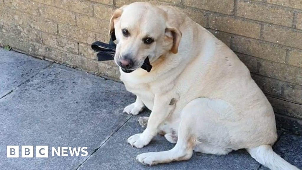 Labrador dog 'recovering' after eating its lead thumbnail