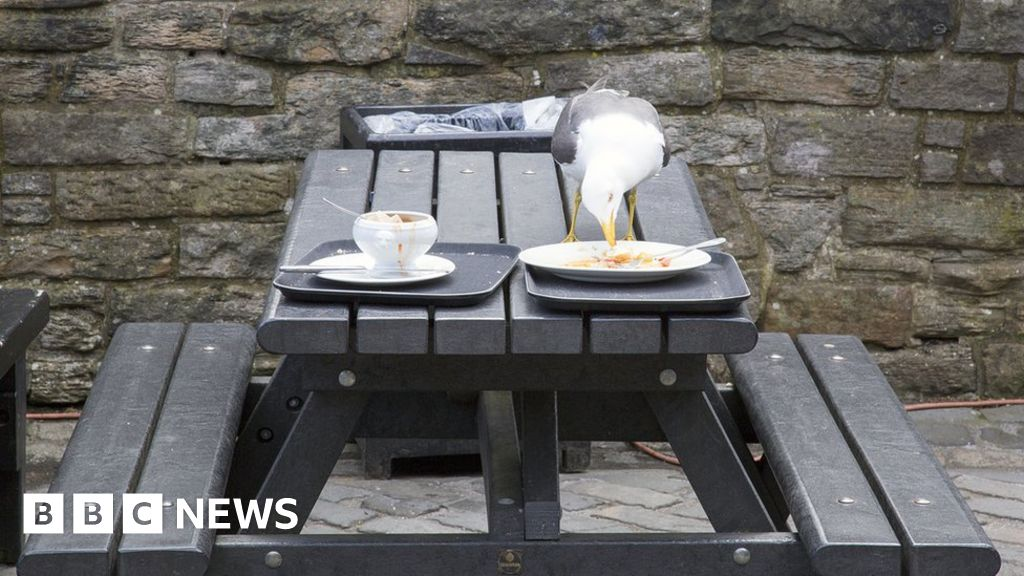 Seagulls prefer food touched by humans, study suggests - BBC News