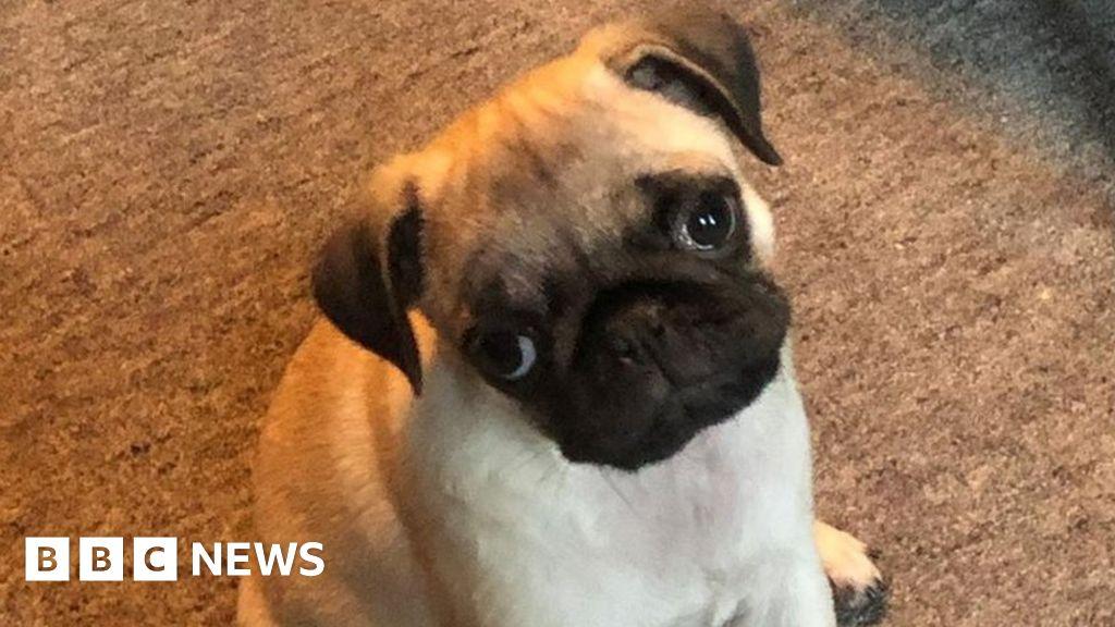 Pug puppy stolen during Wigan burglary prompts £5,000 reward offer thumbnail