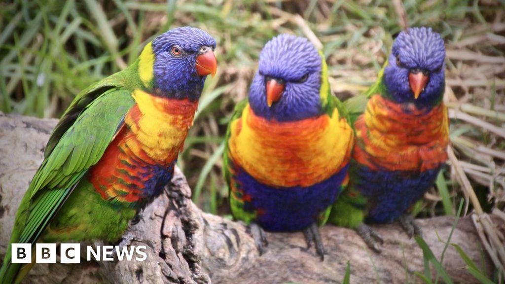 Drusillas Park's lorikeets killed by rat poison - BBC News