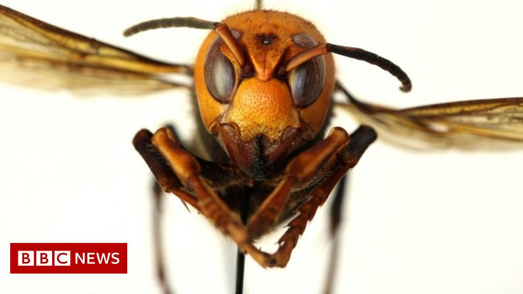'Murder hornets' land in the US for the first time