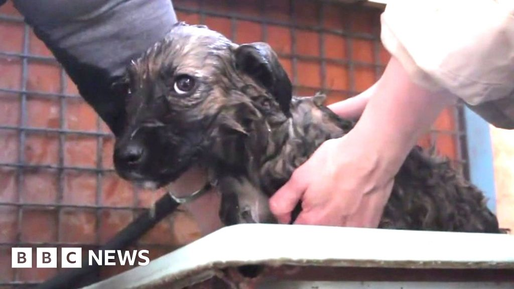 Chernobyl: Rescuing the abandoned dogs in the exclusion zone