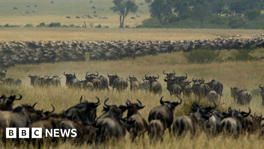 Row over delayed wildebeest migration