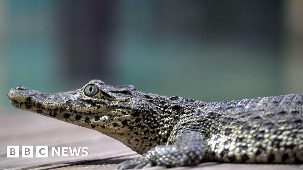 Fidel Castro s crocodile bites man at Swedish aquarium