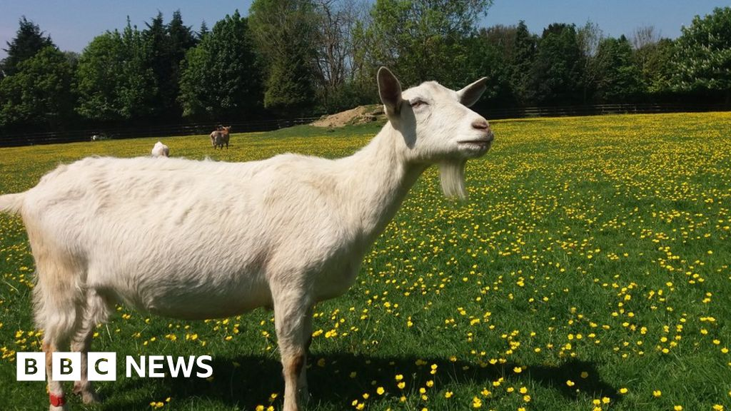 Goats 'drawn to happy human faces' - BBC News