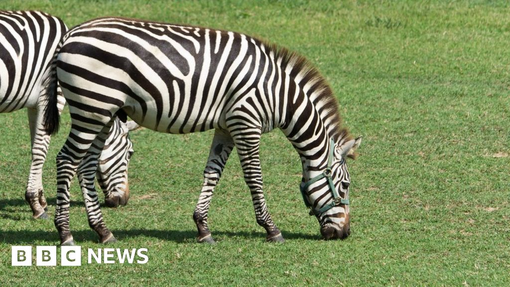 Escaped zebras spark double takes and denials in Maryland