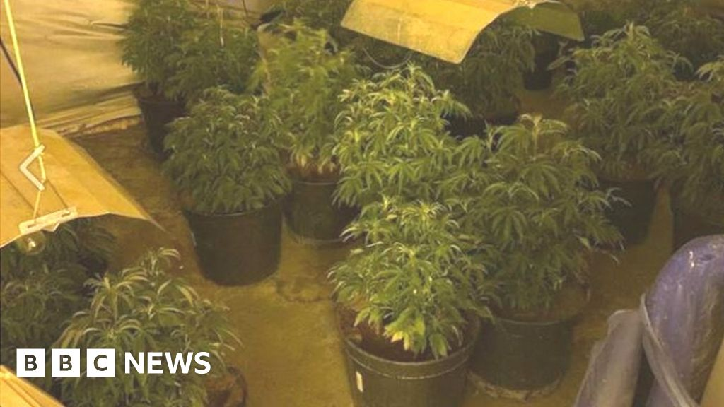 Cannabis haul found after police follow scent in Ramsey
