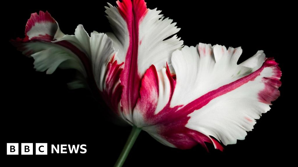 Tulip Mania was really the first big financial bubble?