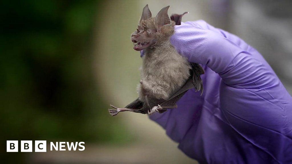 Coronavirus: Looking for viruses in Thai bats thumbnail