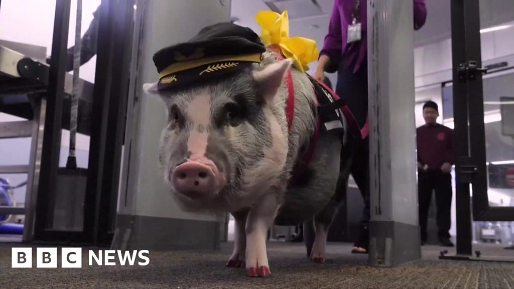 ICYMI: Pigs, turtles and a jet suit world record thumbnail