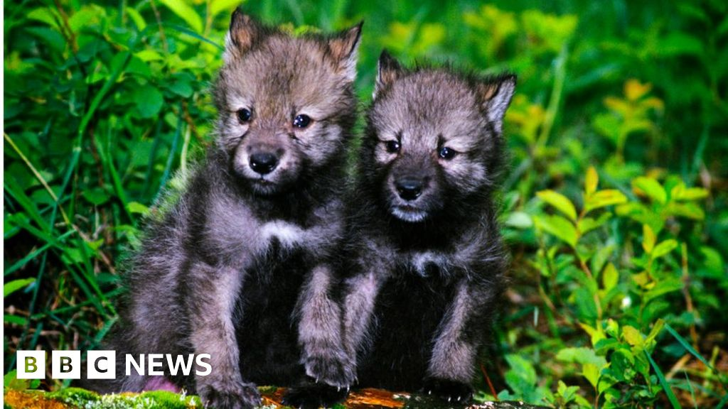 Wolf pups 'adopted' by Idaho high schoolers killed by federal agents